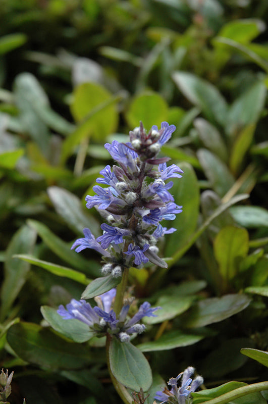 Blueberry Muffin Bugleweed flowers