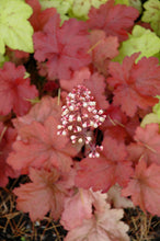 Load image into Gallery viewer, Fire Alarm Coral Bells flowers