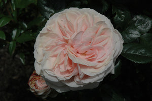 Cream Veranda® Rose flowers