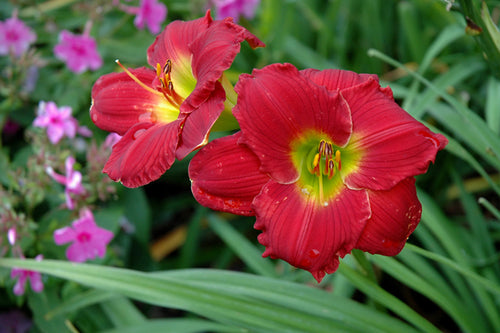 Happy Ever Appster® Red Hot Returns Daylily flowers