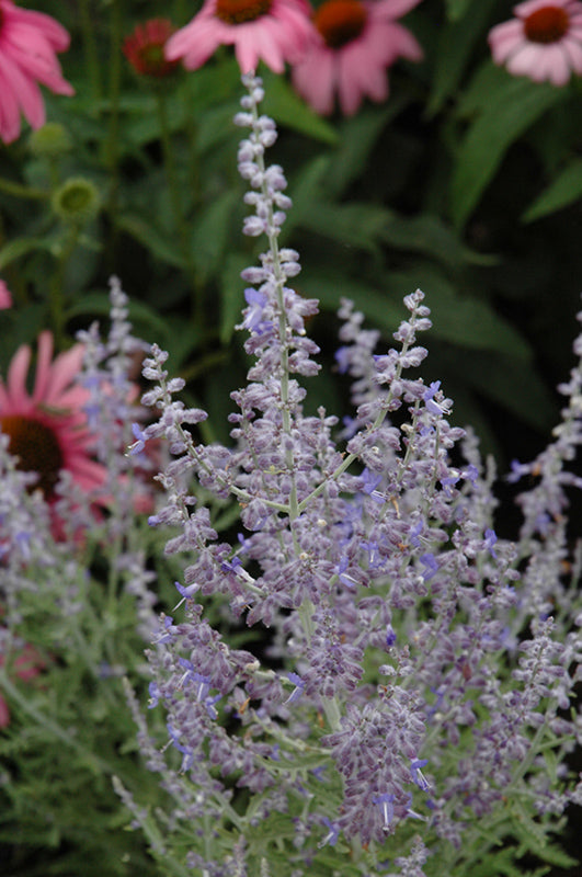 Denim 'n Lace Russian Sage flowers