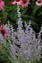 Load image into Gallery viewer, Denim 'n Lace Russian Sage flowers