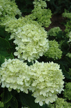 Load image into Gallery viewer, Little Lime® Hydrangea flowers