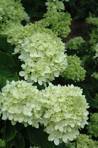 Little Lime® Hydrangea flowers