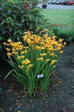 Load image into Gallery viewer, Walberton Yellow Crocosmia in bloom