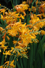 Load image into Gallery viewer, Walberton Yellow Crocosmia flowers