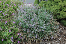 Load image into Gallery viewer, Cat's Meow Catmint in bloom