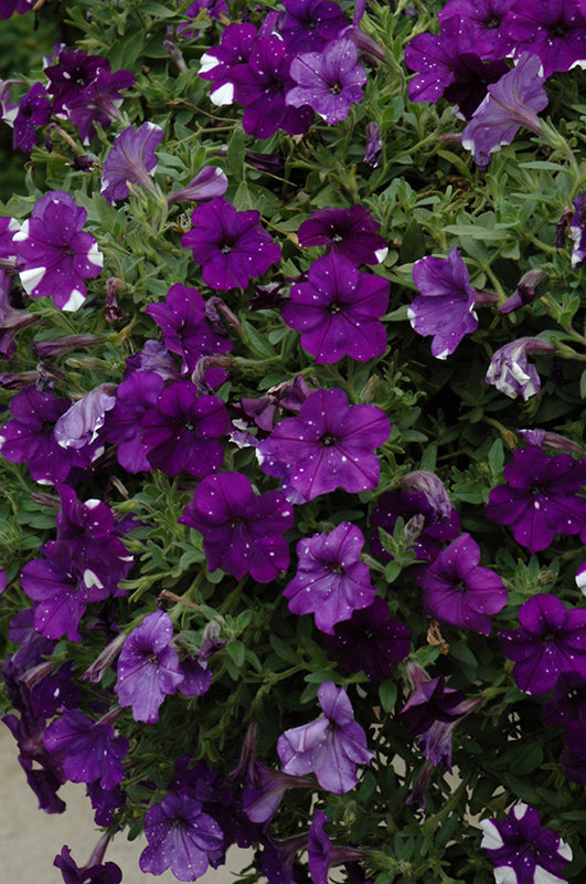 Night Sky Petunia flowers
