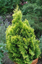 Load image into Gallery viewer, 4ever Goldy Arborvitae