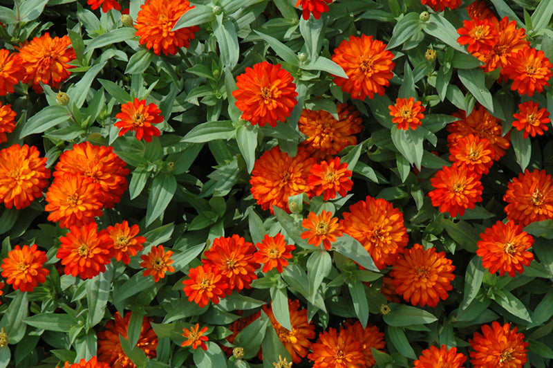 Zahara® Double Fire Zinnia flowers