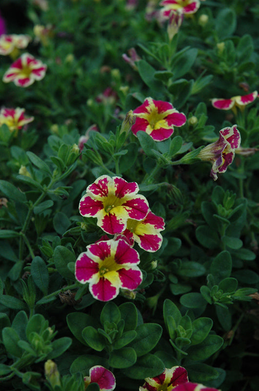 Superbells® Holy Moly! Calibrachoa flowers