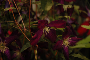 Sweet Summer Love Clematis flowers