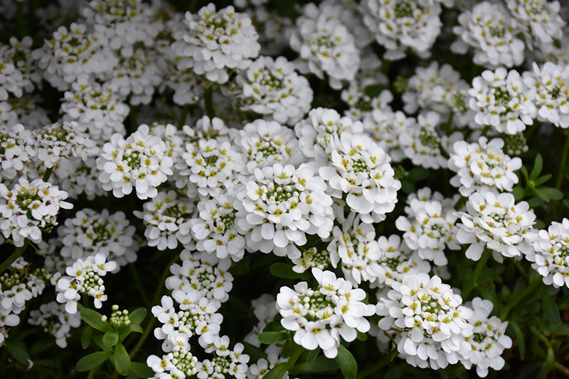 Snowflake Candytuft flowers