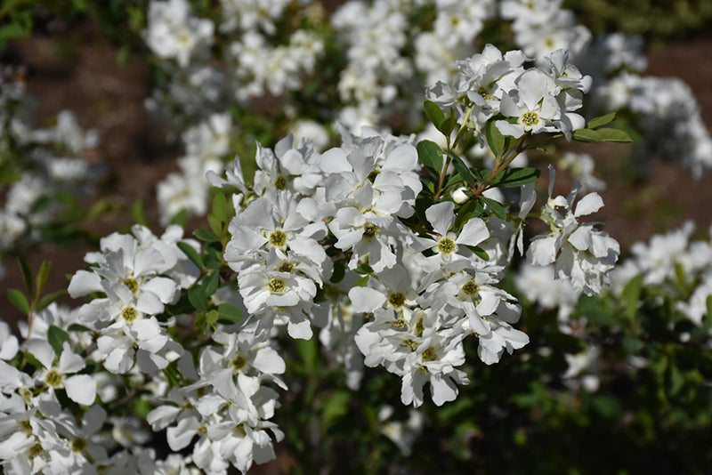 Snow Day® Blizzard Pearlbush flowers