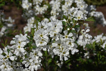Load image into Gallery viewer, Snow Day® Blizzard Pearlbush flowers
