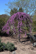 Load image into Gallery viewer, Lavender Twist Redbud in bloom