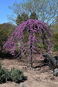 Lavender Twist Redbud in bloom