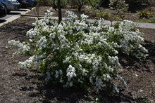 Load image into Gallery viewer, Snow Day® Blizzard Pearlbush in bloom