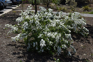Snow Day® Blizzard Pearlbush in bloom