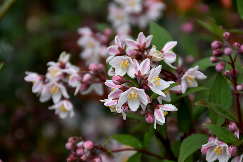 Nikko Blush Deutzia flowers
