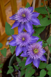 Multi Blue Clematis flowers