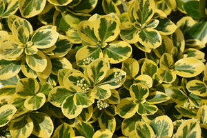 Gold Splash® Wintercreeper foliage