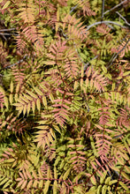 Load image into Gallery viewer, Sem False Spirea foliage