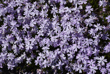 Load image into Gallery viewer, Emerald Blue Moss Phlox flowers