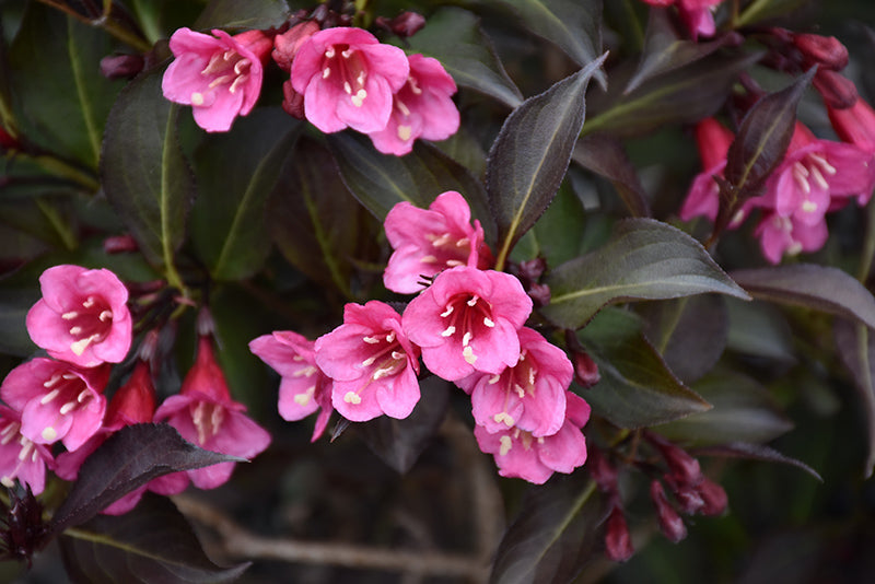 Wine and Roses® Weigela flowers