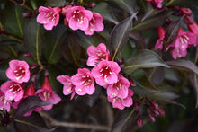 Load image into Gallery viewer, Wine and Roses® Weigela flowers