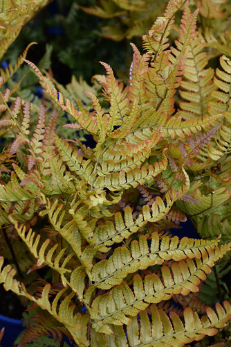 Brilliance Autumn Fern foliage