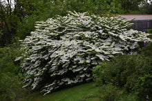 Load image into Gallery viewer, Maries Doublefile Viburnum in bloom