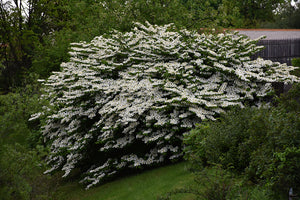 Maries Doublefile Viburnum in bloom