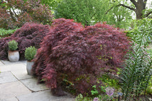 Load image into Gallery viewer, Crimson Queen Japanese Maple