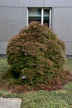 Load image into Gallery viewer, Orangeola Cutleaf Japanese Maple