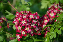 Load image into Gallery viewer, Crimson Cloud English Hawthorn flowers