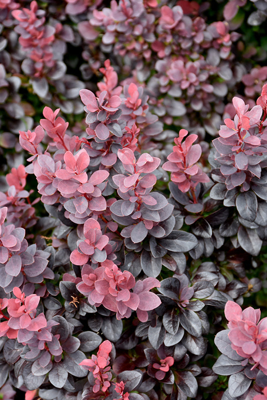 Concorde Japanese Barberry foliage