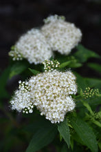 Load image into Gallery viewer, Japanese White Spirea flowers