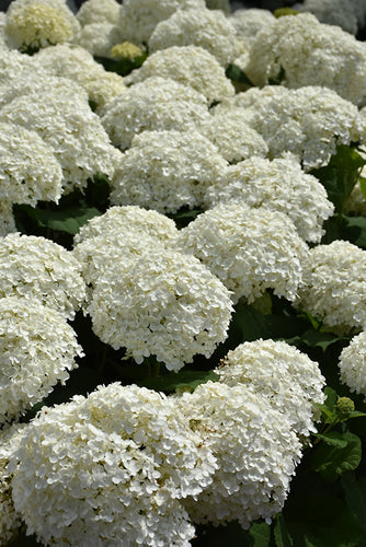 Incrediball® Hydrangea flowers