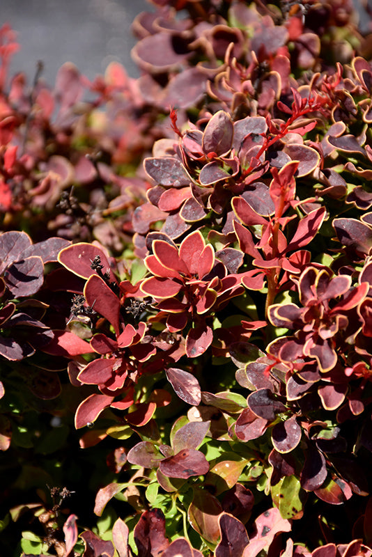 Golden Ruby Barberry foliage