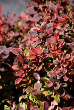 Load image into Gallery viewer, Golden Ruby Barberry foliage