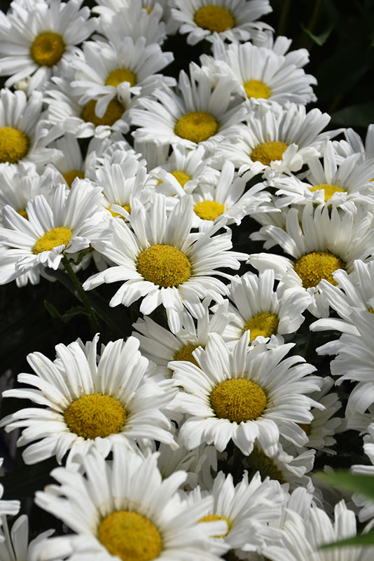 Daisy May Shasta Daisy flowers