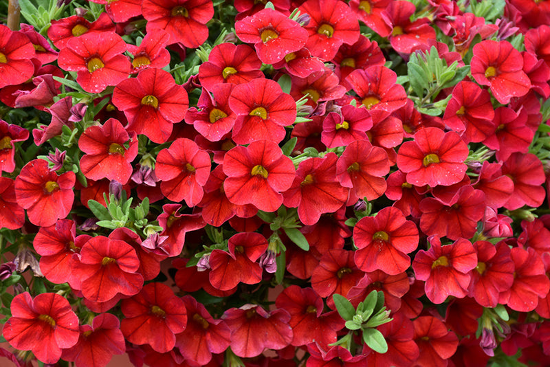Superbells® Red Calibrachoa flowers