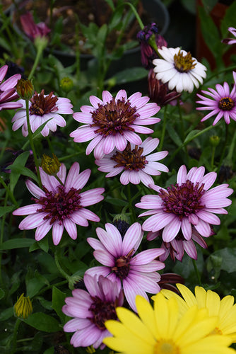 4D™ Berry White African Daisy flowers