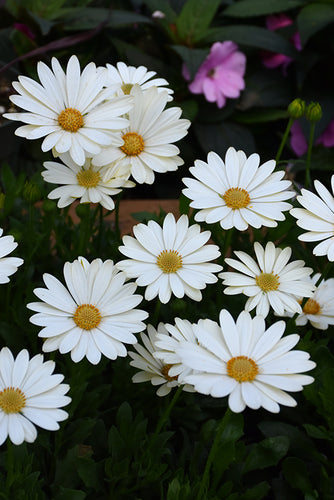 Voltage™ White African Daisy flowers