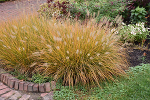 Hameln Dwarf Fountain Grass fruit