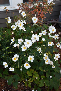 Honorine Jobert Anemone in bloom