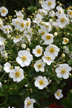 Load image into Gallery viewer, Honorine Jobert Anemone flowers