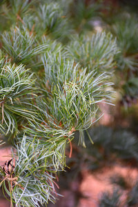Blue Japanese Pine foliage
