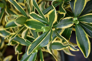 Maejima Variegated Winter Daphne foliage